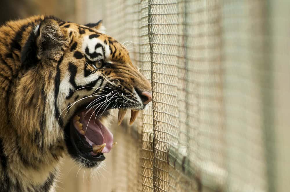 Angry Tiger in Cage